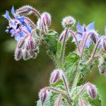 BORRAGINE: l'erba pelosa che dà coraggio e gioia nel cuore
