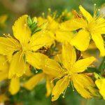 Iperico,  erba del solstizio d'estate